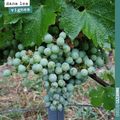 Magnifique grappe, espérance d'une belle récolte.
