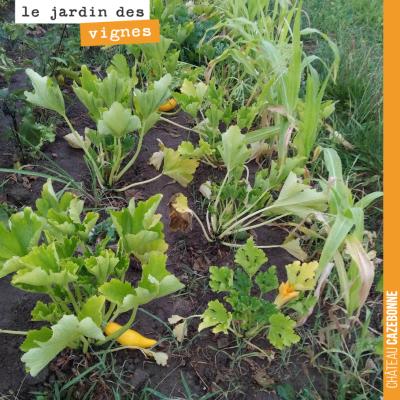 Le jardin des vignes a souffert de la sécheresse. En témoignent ces feuilles bien jaunes, mais la...
