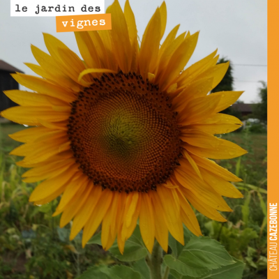 Très jolie fleur de tournesol au Jardin des vignes. Le tournesol est ici décoratif mais peut auss...