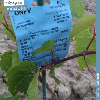 Cette année nous avons planté des porte-greffes directement dans les vignes. Cela va permettre un...