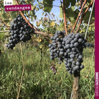 Ces belles grappes de cabernet franc sont maintenant prêtes pour la vendange manuelle, ce lundi m...