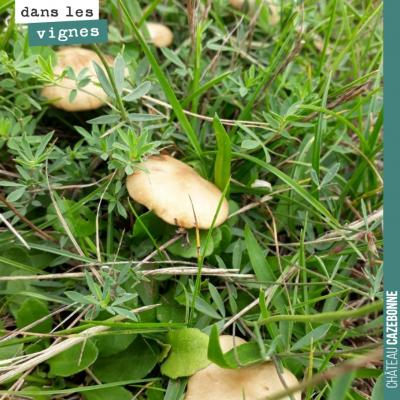 Les champignons sont de sortie. Cela veut dire que le botrytis n'est pas loin. Mais que l'on va a...