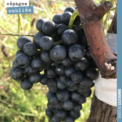 Magnifique grappe de Mancin sur notre vigne surgreffée. Le raisin n'a pas atteindre sa parfaite m...