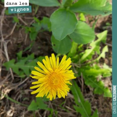 Le pissenlit cohabite avec les fèveroles et nous laisse sa plus belle fleur.