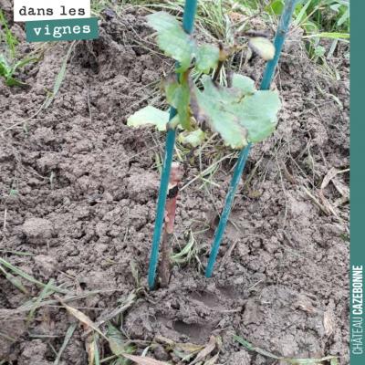 Les sols ont bien absorbés les 140mm de pluie depuis deux semaines. Ce pot de cabernet franc va s...