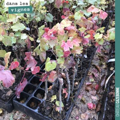 Les plants de vignes attendent sagement des conditions météo plus favorables, pour pouvoir être c...