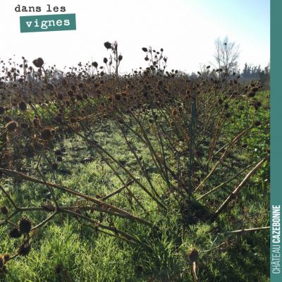 Triste spectacle que ce champ de datura au milieu de notre plantation de cépages oubliés (du bouc...