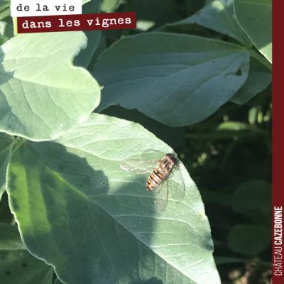 Une petite syrphe sur une feuille de fèveroles. On raconte que la syrphe se déguise en guêpe pour...