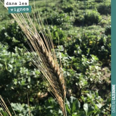 Une pousse de blés anciens, qui a regermé après la récolte du mois de juillet et qui nous donne u...