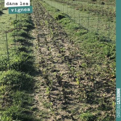 Sur cette partie de la plantation, l'eau s'est accumulée après les pluies. Les fèveroles ont dépé...