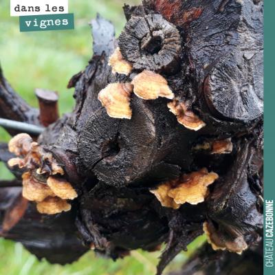 Champignons sur les bois morts de ce vieux pied de vigne. Il faudra que l'on repasse nettoyer ce ...