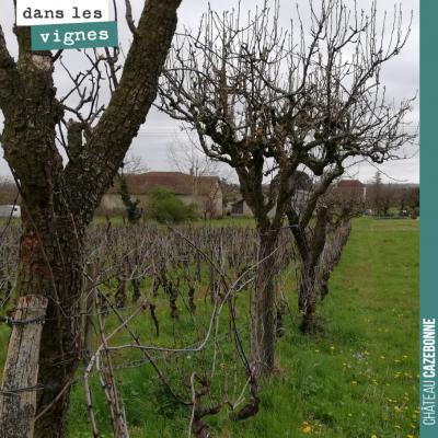 Quelques fruitiers au milieu des vignes de Mounissens, agroforesterie avant l'heure ! Parce que l...