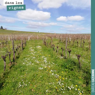 Fin de la taille sur les sémillons sur les vignes de Mounissens (le domaine de David).