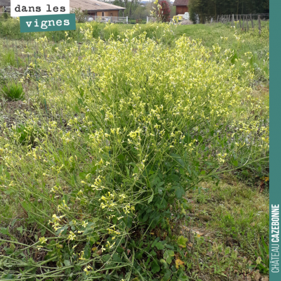 Le colza est devenu invasif sur une parcelle où l'on a fait des plantations l'année dernière. Res...