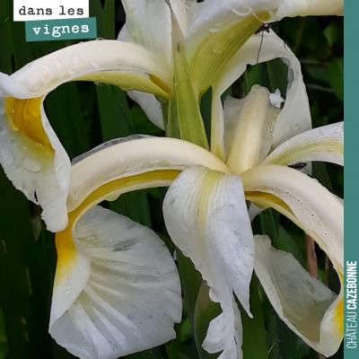Une sorte d'iris aux abords des vignes de Mounissens, où règne une grande biodiversité après 20 a...