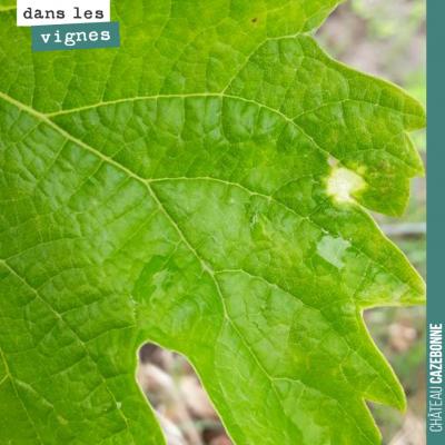 Tache de black rot sur une parcelle de merlot. Le black rot se développe sur les feuilles de vign...