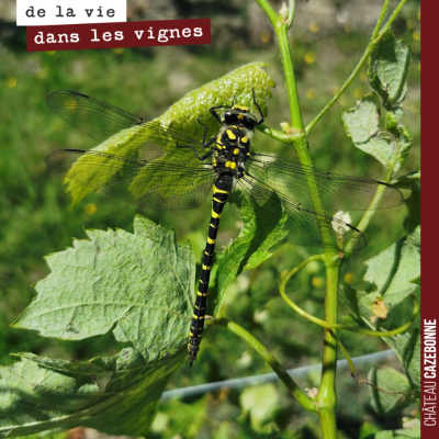 Clin d'œil de notre voisin au Château de Respide avec cette libellule photographiée dans ses vign...