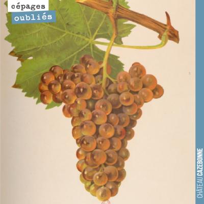 Le blanc auba, cépage blanc oublié de Bordeaux, qui était notamment présent sur les coteaux sur l...