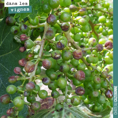 Comme si on avait pas assez grêlé cette année, les vignes de Mounissens (celles de David) à Saint...