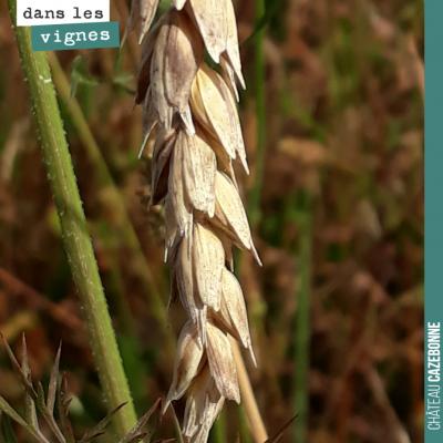 Des variétés de blés anciens de Gironde, semées sur une parcelle en jachère en attendant nos futu...