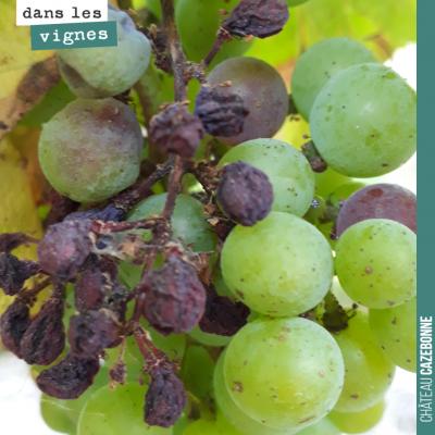 Le rot brun est passé par là. Il faudra trier lors des vendanges pour écarter ces raisins desséchés.
