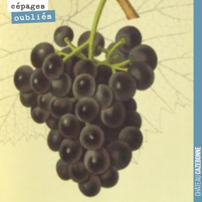 Toujours issu de l'ampélographie Le vignoble par A. Mas et V. Pulliat, paru en 1877, le cépage Bé...