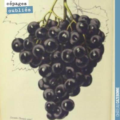 Le malbec était très présent en Gironde au 19ème siècle. Il représentait 25% de l'encépagement su...