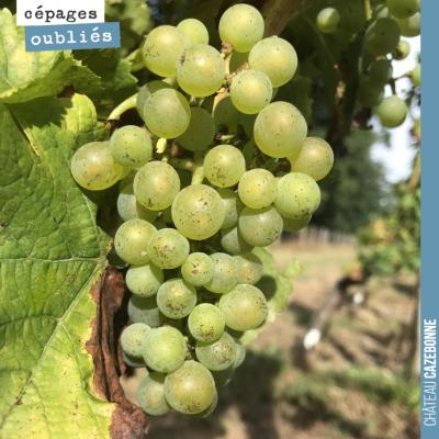Une de nos vignes premières grappes de sauvignonasse. On a hâte de vinifier cela !
