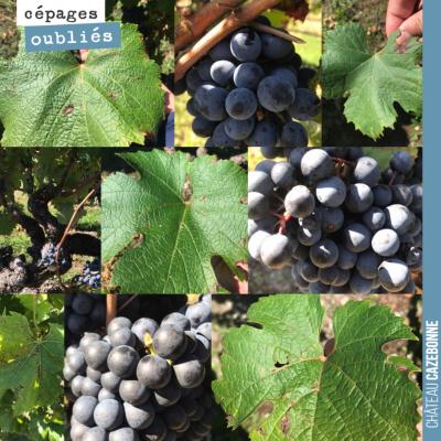 On continue notre quête pour retrouver l'ensemble des cépages qui ont existé à Bordeaux autrefois...