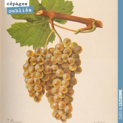 Le Blanc Verdet, un très intéressant cépage blanc, autrefois planté dans nos vignes ! Le cépage e...
