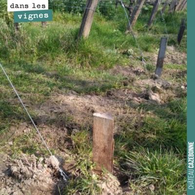 La semaine dernière, on a remis des marquants pour protéger le fil de fer du palissage. Cela perm...