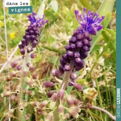Magnifiques muscari à toupets dans nos vignes. Émerveillement permanent et biodiversité. Merci So...