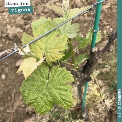 Nos jeunes vignes de petits verdots sont bien réparties après le gel. On ne pas devrait récolter ...