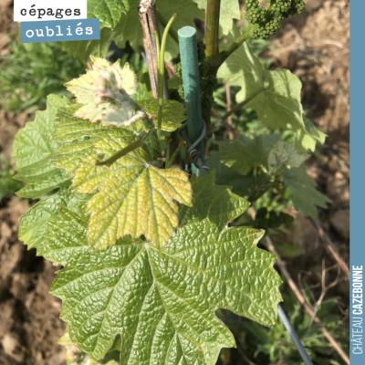 Le jurançon noir est en pleine forme. Un cépage productif très présent dans nos vignes autrefois....