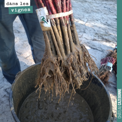 Pralinage des plants lors de la plantation. Très important pour aider la plante dans son développ...