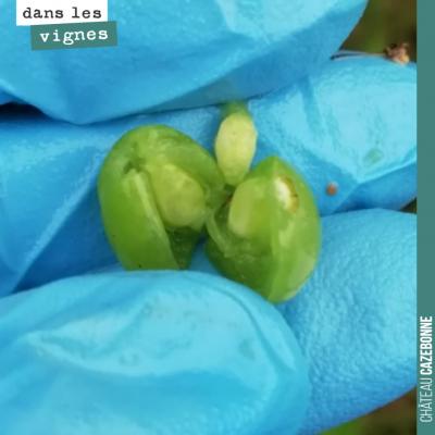 A ce stade, le grain de raisin contient les pépins, qui sont déjà à une taille presque adulte.